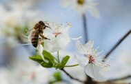 What's Happening to the Bees?
